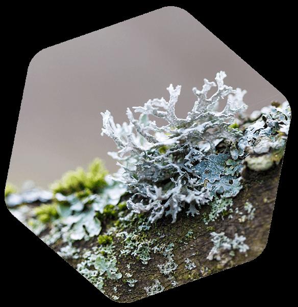lichen bio